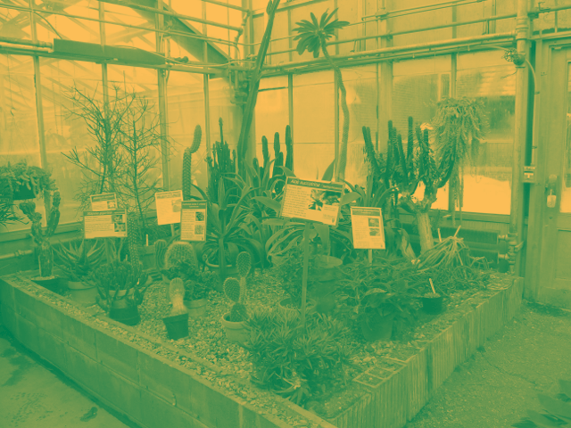 Image of McMaster Biology Department Greenhouse Cacti