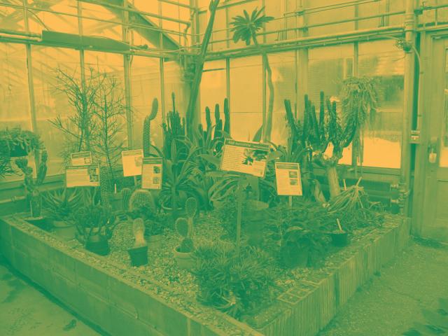 Image of McMaster Biology Department Greenhouse Cacti